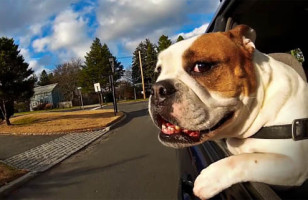 The Dogs In Cars Video Will Make You Smile