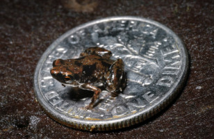 The World's New Smallest Vertebrate