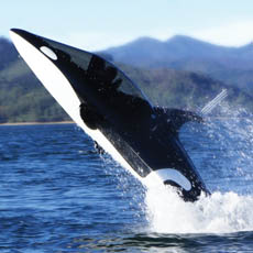 Take A Spin In My Killer Whale Submarine