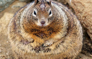 Lay Off The Nuts!: World's Fattest Squirrel