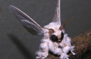 Venezuelan Poodle Moth… I Choose You!