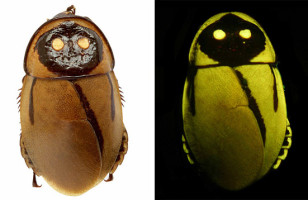 Oh, Great!: Glowing Cockroaches