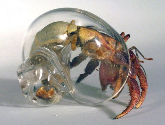 Hermit Crabs Now With See-Through Shells!
