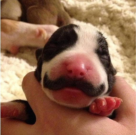 Fancy Puppy Born With A Mustache