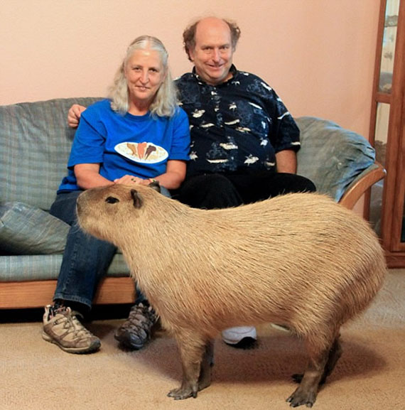 Family Keeps 110 Pound Rodent As A Pet