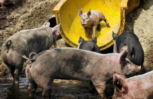 Farmer Builds Water Slide For Pigs