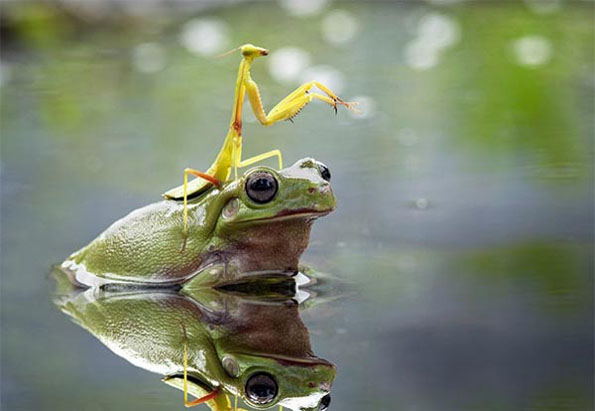 Praying Mantis Riding A Frog