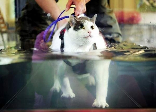 Fat Cat On A Treadmill Incredible Things