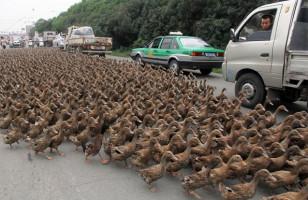 Caption This: Ducks! [Closed]