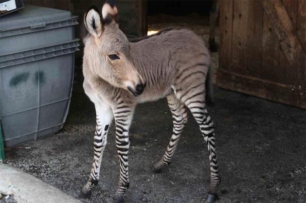 Half Zebra-Half Donkey Is 100% Adorable
