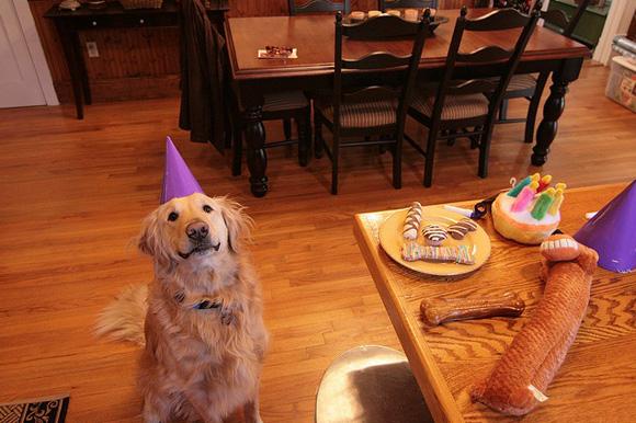 Golden Retrievers Celebrating Birthdays
