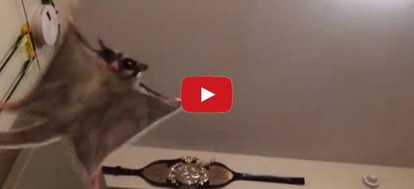 Guy Snaps Gliding Possum Comes Flying Incredible Things