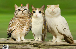 Meowls Are Cat Heads Photoshopped Onto Owl Bodies