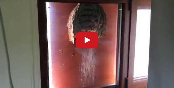 Peek Inside This Wasps Nest Built On A Window