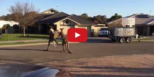 Kangaroos Boxing In The Street Is Really Something To Behold