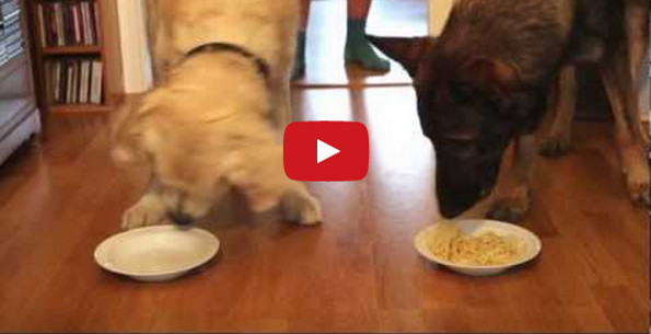 Dogs Participate In A Spaghetti Eating Contest