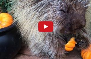 A Porcupine Makes Bizarre Sounds While Eating Pumpkin