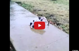 This Pig Sliding On The Frozen Sidewalk Is TOO CUTE