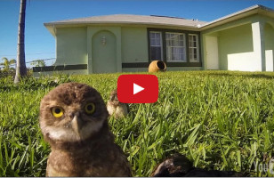 A GoPro Catches A Pretty Impressive Owl Dance-Off