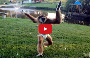 APEril The Gibbon Pulls A Hat Over Her Head, Runs Into Stuff
