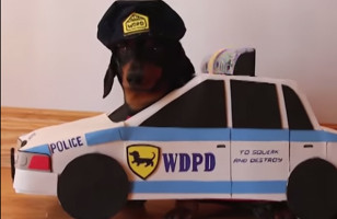 """Dachshunds Play """"Cops And Robbers"""" BRB Dying Of Cute"""