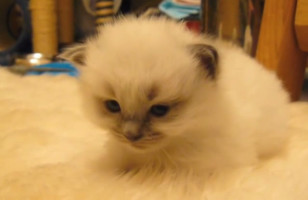 Watch As A Kitten Disappears Into The Rug When She Lies Down