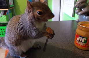 A Fancy Pants Squirrel Eats His Almond Butter Off A Fork