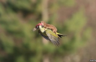 A Weasel Riding A Woodpecker Is Easily The Weirdest Thing You'll See All Day