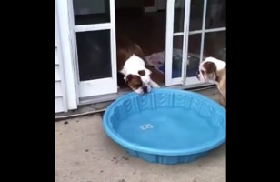 Watch This Silly Pup Drag His Wading Pool Into The House