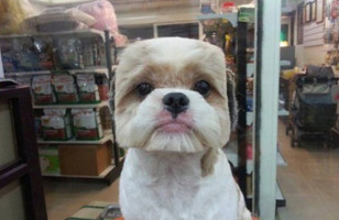 Dogs Get Their Hair Cut To Have Perfectly Square/Round Heads