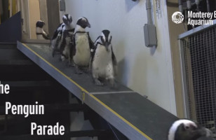 A Penguin Parade Is The Cutest Kind Of Parade There Is