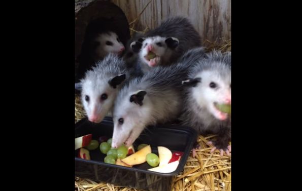 These Baby Possums Eating Fruit Make The Cutest Sounds
