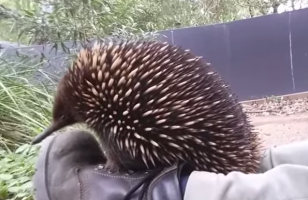 Someone Caught An Echidna Letting Out A Big Sneeze