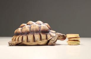 Tortoises Eating Pancakes Makes For Ultimate Cuteness