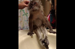 This Sweet Little Monkey Getting Groomed Is Ridiculously Cute