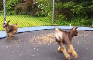 Just A Couple Baby Goats Jumping On A Trampoline NBD*