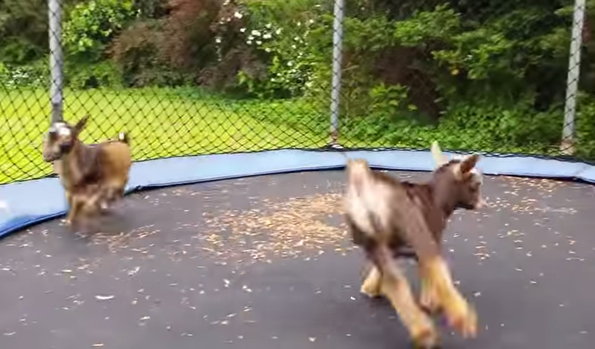 Just A Couple Baby Goats Jumping On A Trampoline Nbd
