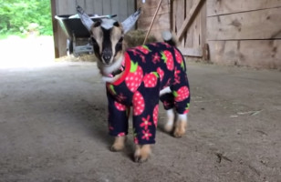 Baby Goats Frolicking In Pajamas Will Make You Smile Big Time