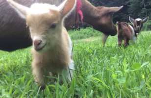 Some Newborn Goats Learn How To Hop & SPOILER: It Is Adorable