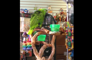 """This Parrot Singing """"Everything Is Awesome"""" Is, Well… Awesome"""