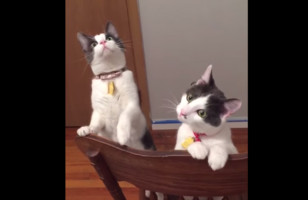 """Some Cats See A Ceiling Fan In Action & They're All """"Wut Is Dis?"""""""