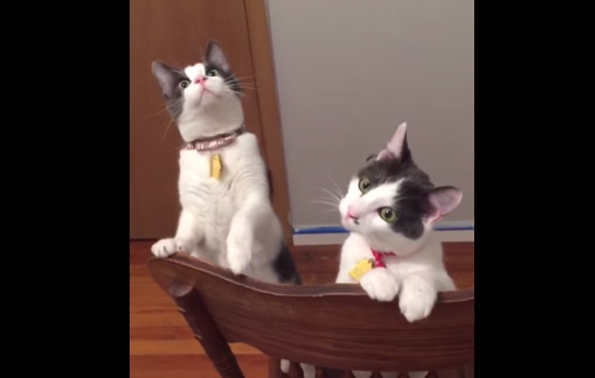Some Cats See A Ceiling Fan In Action For The First Time