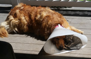 A Kitty Joins Her Dog Buddy In His Cone Of Shame, So Sweet!