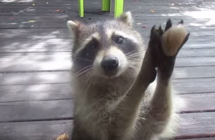 Footage Of The Most Demanding Raccoon To Ever Exist