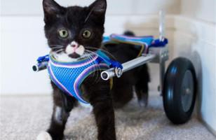 Meet Cassidy, A Kitten On Wheels
