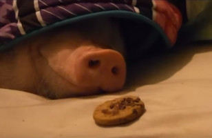 Watch As A Sleeping Pig Wakes Up To The Smell Of A Cookie