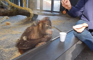 This Orangutan Watching A Magic Trick Will Make You Smile