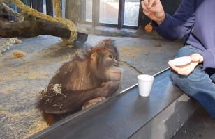 This Orangutan Watching A Magic Trick Will Make You Smile
