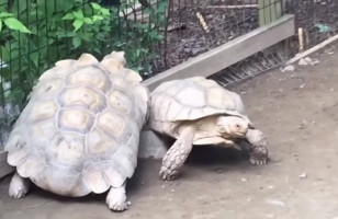 A Turtle Helping Another Turtle Will Warm Your Cold Heart
