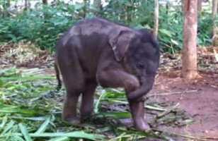 This Baby Elephant Playing With Her Trunk Is The Cutest